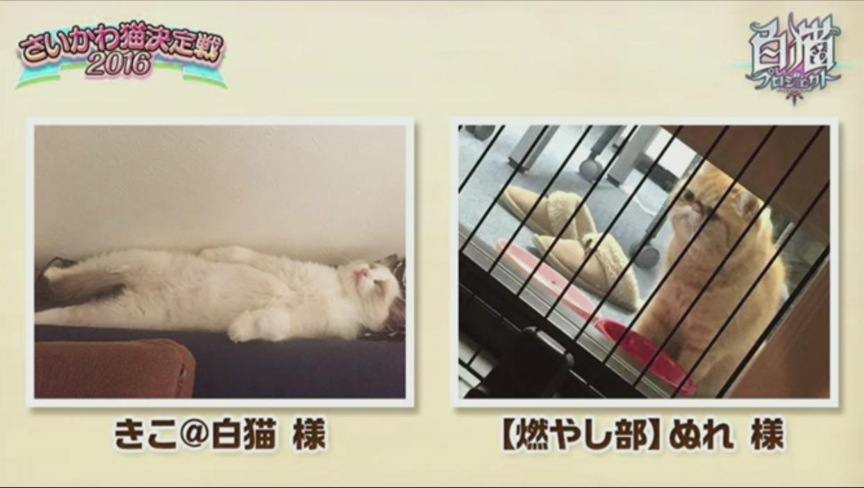 【白猫】ニコ生20162月22日_さいかわ猫決定戦201612C