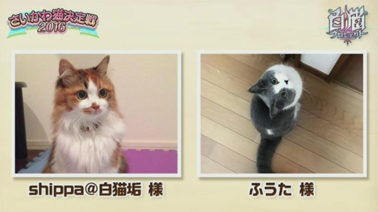 【白猫】ニコ生20162月22日_さいかわ猫決定戦201615A